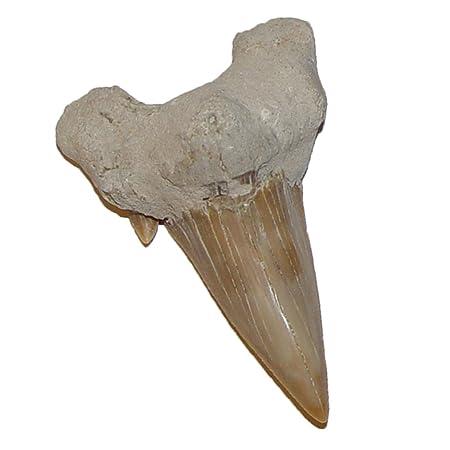 Haizahn versteinert Fossil großer Zahn vom Haifisch Otodus ca. 50-60 Millionen Jahre alt ca.40 mm (4672)