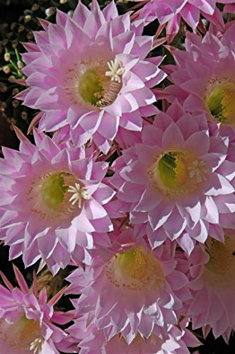 Grow Easter Lily (Plantree Echinopsis Easter Lily Cactus Buds Pups Huge Pink Flowers Perfect Healthy-Big!)