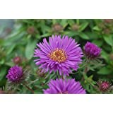 Aster novae-angliae 'Purple Dome' (New England Aster) Perennial, purple flowers, 2 - Size Container