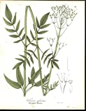 Tall Marsh Valerian Pink Petals 1842 old vintage color lithograph Botany print