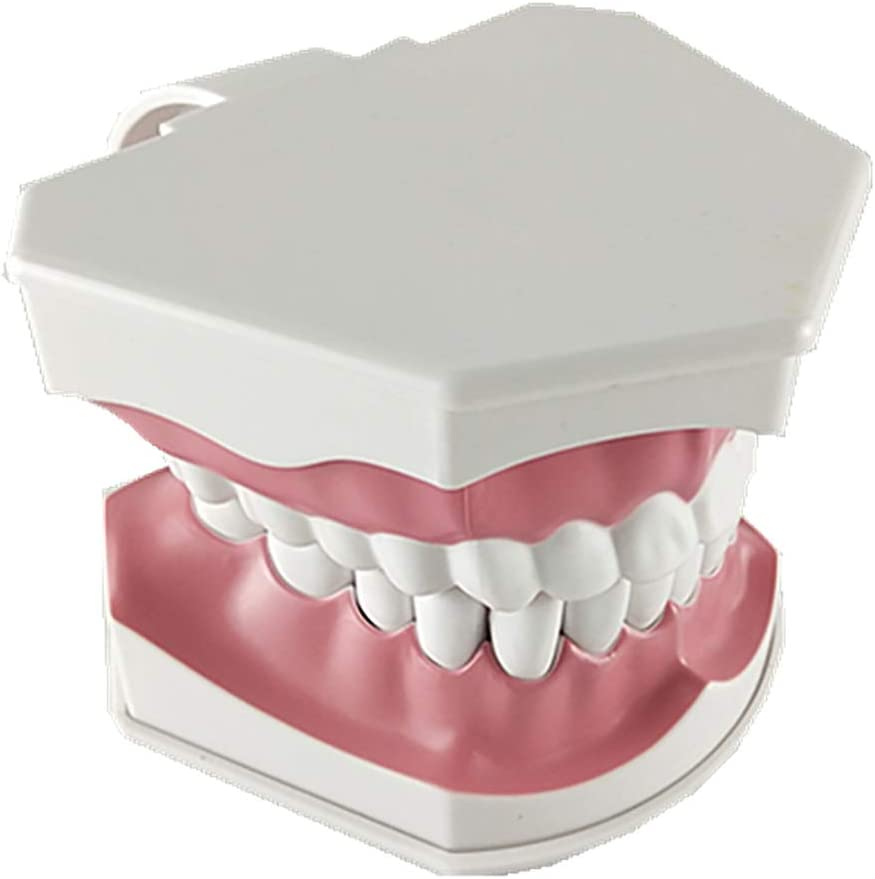 Justdolife Mod/èle De Dents Mod/èle Dentaire Standard Polyvalent pour Adultes Mod/èLe De D/émonstration des Dents