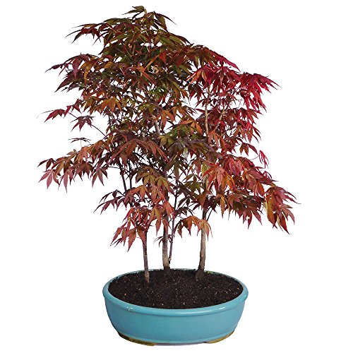 Brussel's Japanese Red Maple Grove Bonsai - X Large - (Outdoor)
