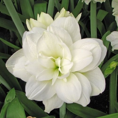 1 Amaryllis Double White 'Marquis' 26/28cm Bulb Christmas Flowering