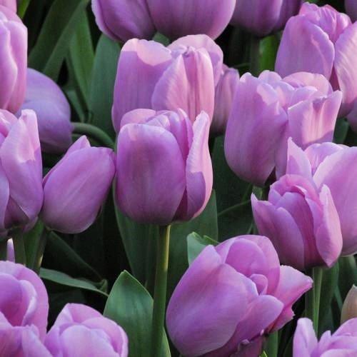 TULIP BULBS - 24 Alibi Triumph Tulips