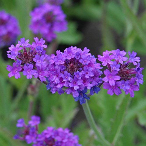 - Flower Seeds: Verbena Mixed Premium Seeds Blue everblooming Flowers Garden [Home Garden Seeds eco Pack] Plant Seeds by