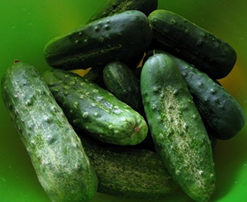 Cucumber Boston Pickling 90 SEEDS ,ORGANIC, NON-GMO, USA PRODUCT. PACKED BY JACOBS LADDER ENT.