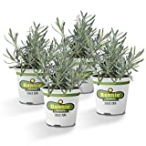 Bonnie Plants Lavender Live Edible Aromatic Herb Plant - 4 Pack, 12 - 14 in. Tall Plant, Baking, Teas, Sugars, Jellies