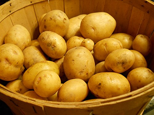 SEED POTATOES - 5 lb Yukon Gold * Organic Grown * Non GMO * Virus & Chemical Free * Ready for Spring Planting *