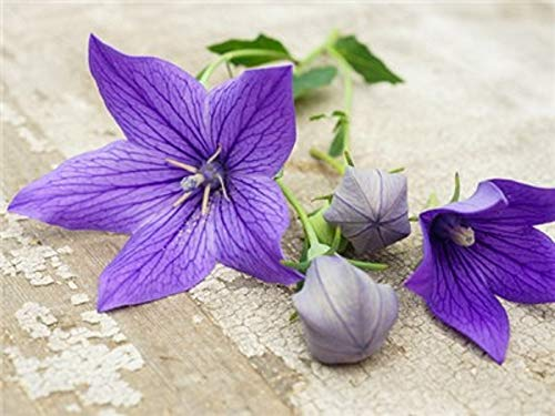 David's Garden Seeds Flower Grandiflora Balloon Flower SL9387 (Blue) 50 Non-GMO, Heirloom Seeds
