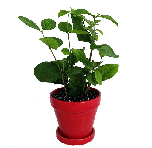 Hirts Arabian Tea Jasmine Plant