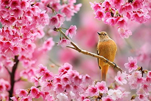 Songbird in Cherry Blossoms (36x54 Giclee Gallery Print, Wall Decor Travel Poster) - Giclee Cherry Blossoms