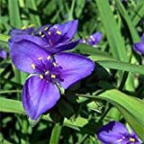 Ohio Spiderwort- 50 Seeds