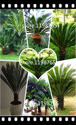 100pcs/bag Cycas seeds, Sago Palm Tree seeds.bonsai flower seeds,the budding rate 97% rare potted plant for home garden SVI