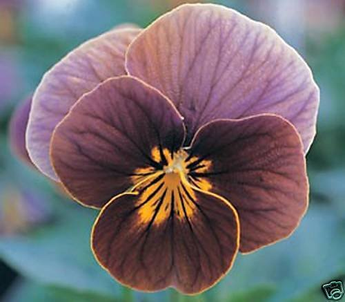 Long Stemmed Rose Candle - 30+ VIOLA FROSTED CHOCOLATE SWEETLY SCENTED SHADE PERENNIAL FLOWER SEEDS