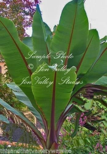 Ensete superbum Cliff Banana  Fast Growing Tropical Beauty Very RARE!