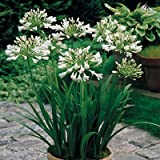 3 Bare-root White Agapanthus/ Lily of the Nile