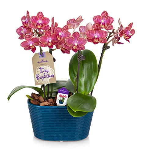 (Orchid Flower Plant, Salmon in 4