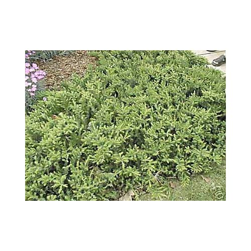 Juniper 'Blue Pacific' conferta Ground Cover (2) Starter