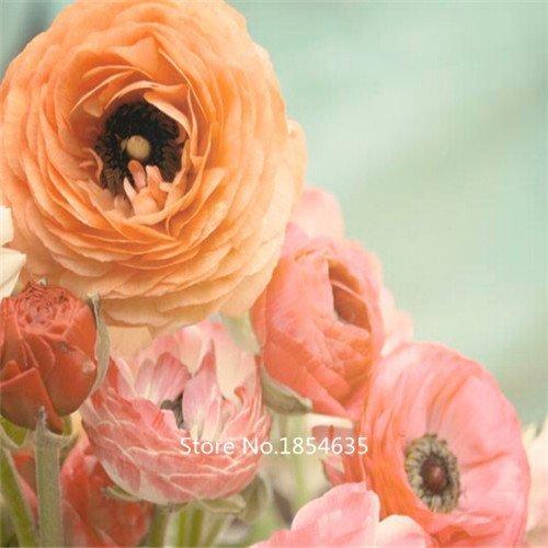 Nianyan Light orange Ranunculus Picotee Flamenco - Persian Buttercup Bulbs - 20 XL BULBS (Not Seeds!) - 8+ cm