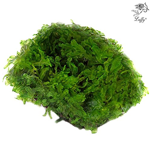 luffy-coco-pellia-plant-on-coconut-shell-beautiful-live-aquarium-moss-plant-for-java-fish-exo-shrimp