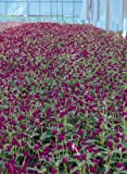 Gomphrena globosa Qis Purple 1,000 seeds