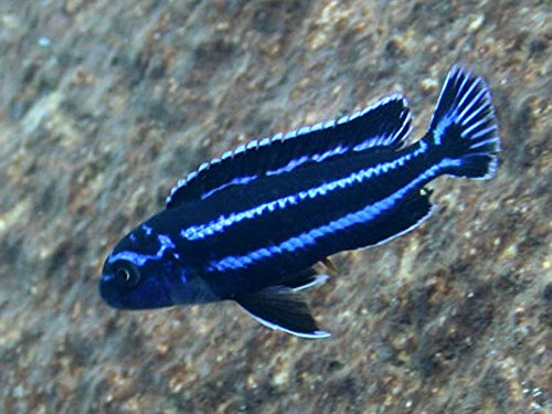 Pair of Electric Blue Maingano African Cichlid - Live Tropical Aquarium Fish