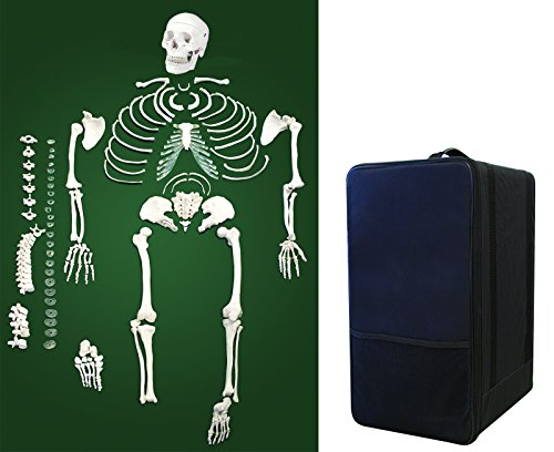 - Vision Scientific VAS220-CC0 Life Size, Total Disarticulated Skeleton | Bones & Osteological Features Numbered for Identification | 3-Part Skull | Key to Numbered Structures W Manual & Carrying Case