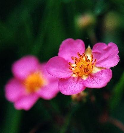 Amazon fragissimo strawberry 20 seeds pink flowerred fruit fragissimo strawberry 20 seeds pink flowerred fruit mightylinksfo