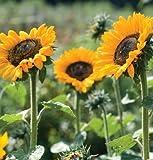 David's Garden Seeds Sunflower Soraya D1235A (Yellow) 25 Open Pollinated Seeds