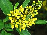 10 Seeds ~ Golden Thryallis Galphimia glauca