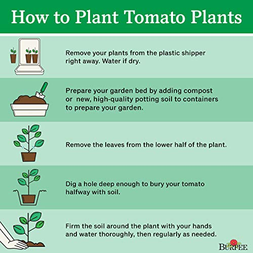 Burpee Bush Early Girl' Hybrid Tomato, 3 Live Plants | 2 1/2'' Pot by Burpee (Image #2)
