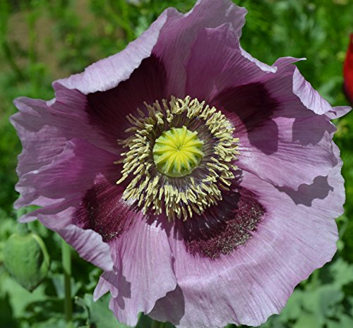 Giant Purple Poppy Papaver Somniferum Premium Seed Packet