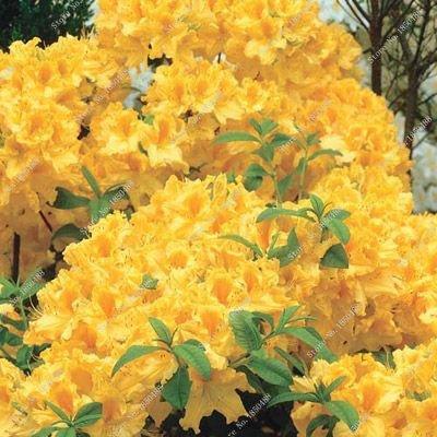 100 pcs a bag rhododendron azalea flower seeds,raro diy plant home garden bonsai,japan cherry sakura flowerpots