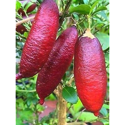 Heirloom Pink Australian Finger Lime Tree 10 Seeds by AchmadAnam : Garden & Outdoor
