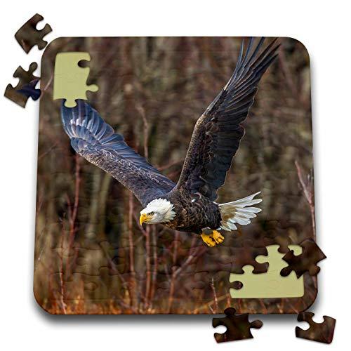 3dRose Danita Delimont - Eagles - USA, Alaska, Chilkat Bald Eagle Preserve, Bald Eagle Adult Flying - 10x10 Inch Puzzle ()