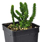 Crassula muscosa pseudolycopodiodes, Watch Chain Plant for Miniature Garden, Fairy Garden incl. Heat Pack