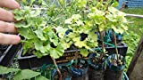 Male Ginkgo biloba''Everton Broom'' Dwarf grafted Tree 2 Year Old