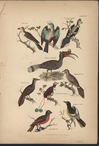 Baltimore Orioles Lithograph - Beef Eater Baltimore Oriole 1868 antique color lithograph print