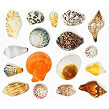 """Tumbler Home Polished Sea Shells – Sizes 2.25"""" to 4"""" - Approx. 15 Beach Shells in Mixed Colors – 1.75 Lb Nautical Beach Décor"""