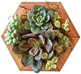 Succulent Gardens Single 4″, 4″ Diameter Succulent Hexagon Planter, Multicolor Review