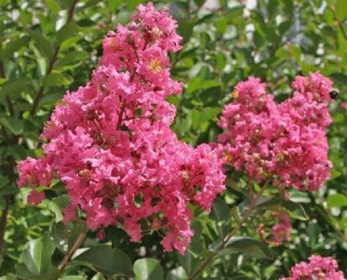 Crape Myrtle - HOPI - Pink - 1 Plant - Larger 1 Gallon Pot