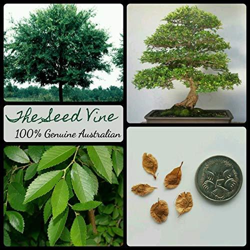 Casavidas Seeds Package: 10+ Chinese Elm Tree Seeds (Ulmus Parvifolia) Bonsai Ornamental Evergreen