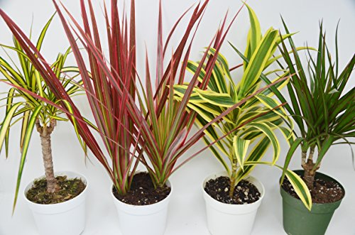 4 Different Dracaenas Variety Pack - Live House Plant - FREE Care Guide - 4