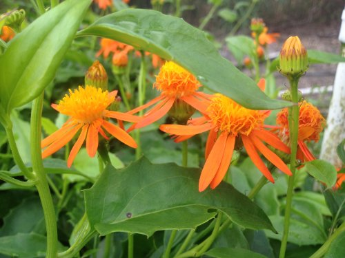 MEXICAN FLAME VINE Tropical Plant Unusual Yellow Orange Flower Bloom Attract Hummingbird Butterfly Starter Size 4 Inch Pot Emerald TM - Orange Flame Grass