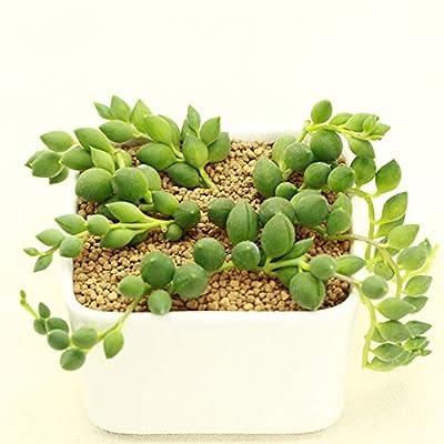 Succulent Live Plant - Senecio rowleyanus : Garden & Outdoor
