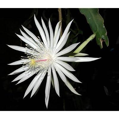 2 White ORCHID CACTUS Epiphyllum Cuttings: One OXYPETALUM & One Strictum : Succulent Plants : Garden & Outdoor