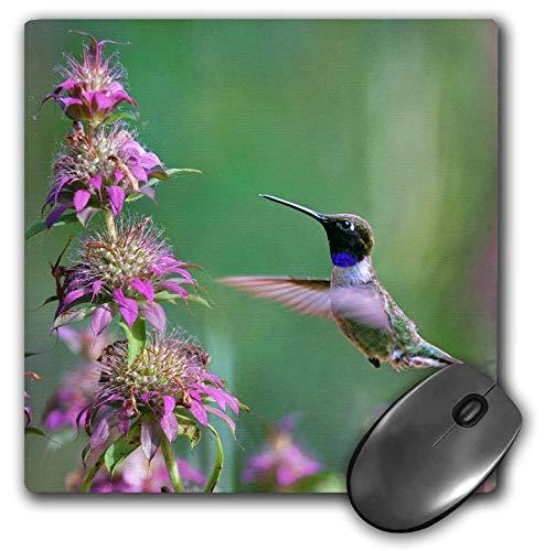 3dRose Danita Delimont - Hummingbirds - Black-chinned Hummingbird Male at bee Balm, Texas, USA.  - Mousepad ()