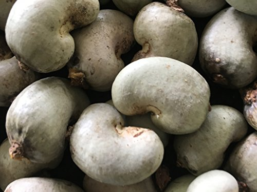 Cashew Nut Kaju Anacardium Occidentale Seeds Kaju Mundiri Andima Kasu mavu Munthamamidi Godambi Geru Hijli Badam Kazu Agnikrita Anacardiaceae tree seeds for growing.(25+ HAND PICKED HEALTHY SEEDS)
