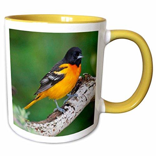 3dRose Danita Delimont - Birds - Baltimore Oriole bird, South Padre Island, Texas, USA - US44 LDI0736 - Larry Ditto - 15oz Two-Tone Yellow Mug (mug_146861_13)