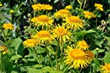 Elecampane Seeds, also called Yellow Starwort,, Non Gmo Untreated - Perennial